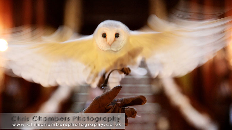 Wedding at Allerton castle North Yorkshire. The Barn owl delivers the Rings to the bride and groom during the wedding ceremony. photography Chris Chambers